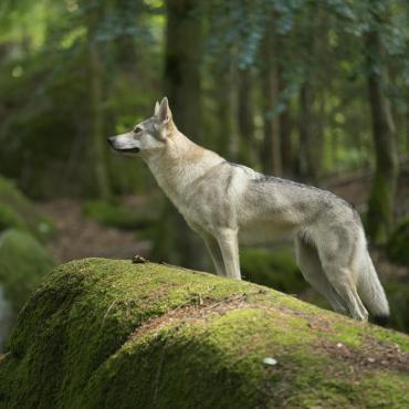 Entre lacs et loups en Mercantour
