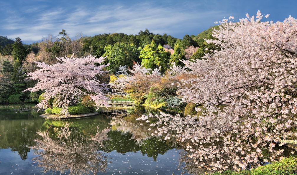 Image Japon, chrysanthème du pacifique