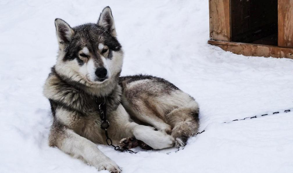 Image Entre chiens et loups au québec