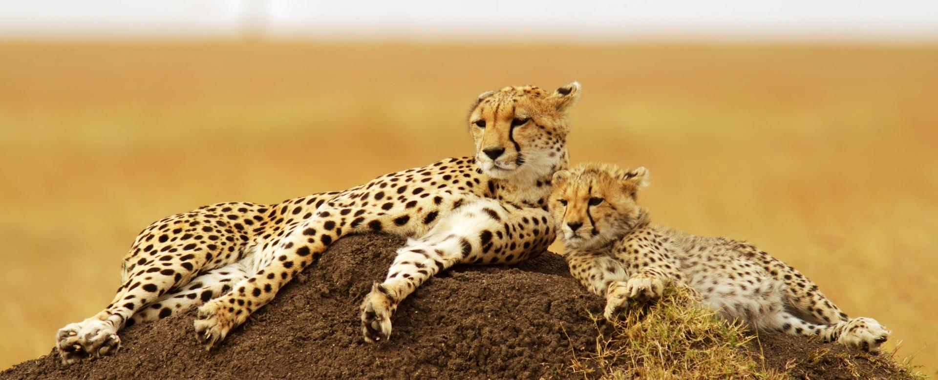 Voyage avec des animaux : Masai mara et safaris kenyans en lodge