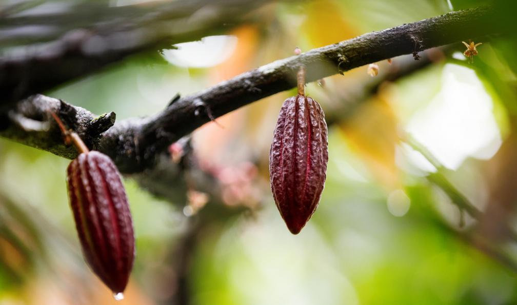 Image L'île cacao