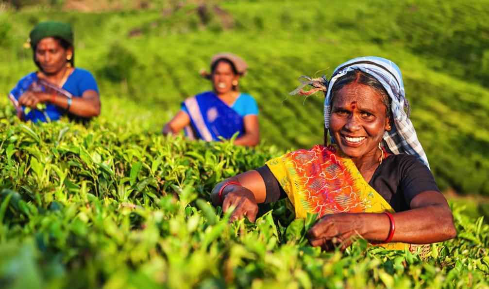 Image Les montagnes du thé