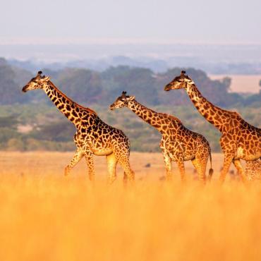 Safaris tanzaniens