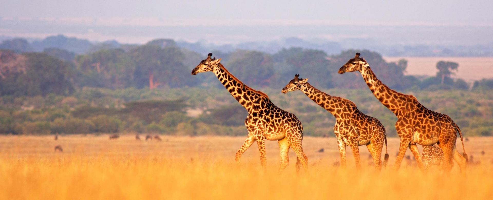 Voyage avec des animaux : Safaris tanzaniens