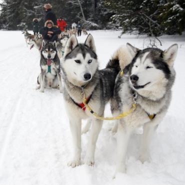 Entre chiens et loups au Québec