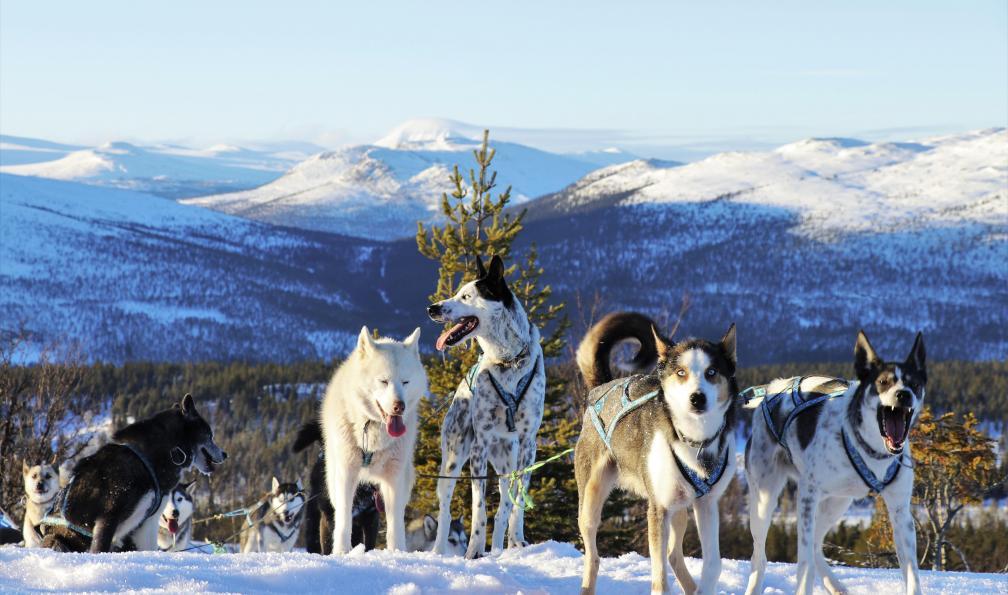 Image Les petits mushers du comté de hedmark