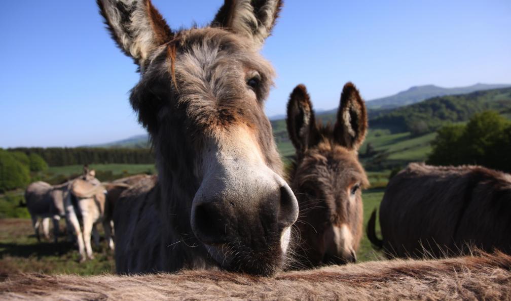 Image Les volcans d'ardèche avec un âne