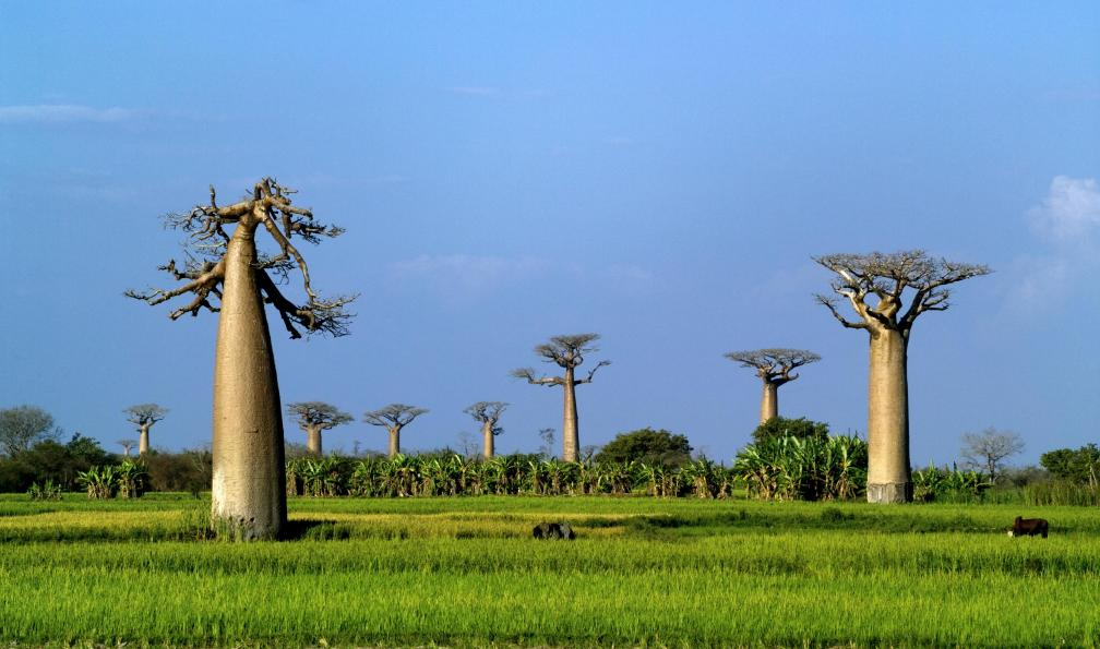 Image Au pays des baobabs