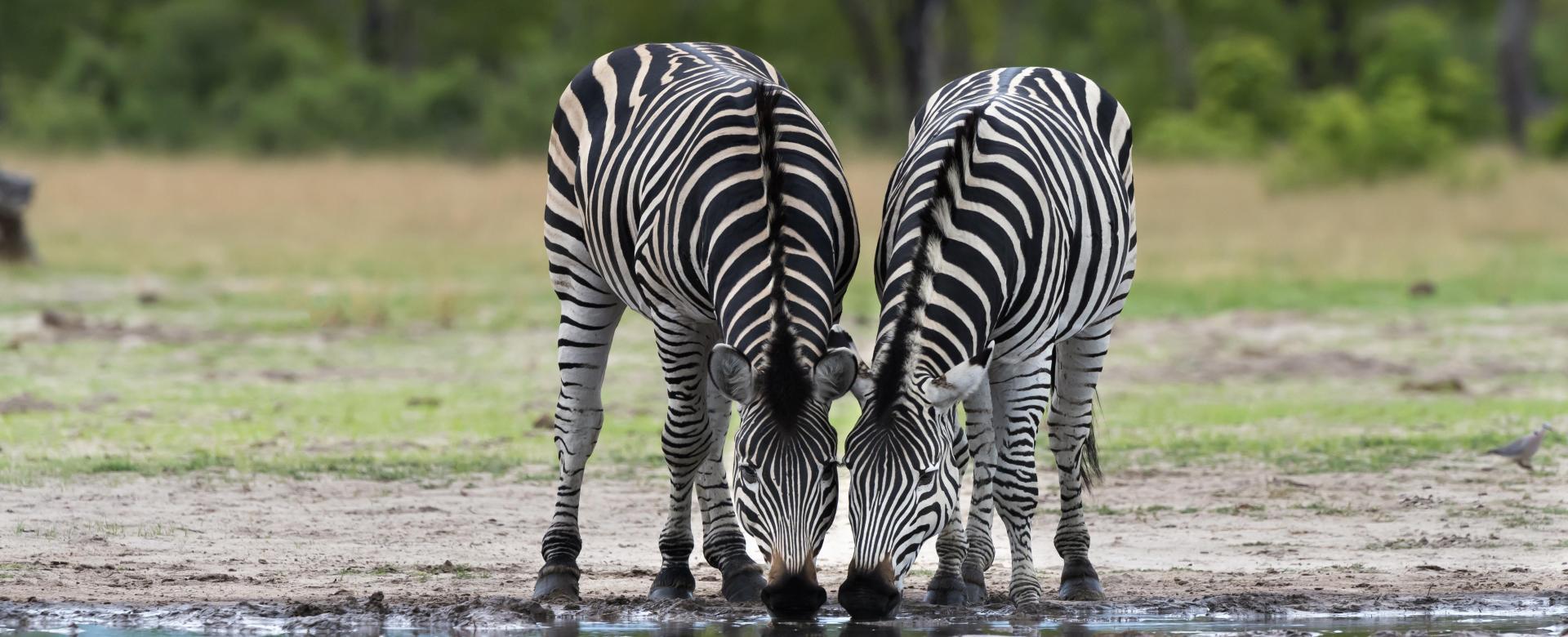 Voyage avec des animaux : Botswana : Safaris d\'afrique australe (en lodge)